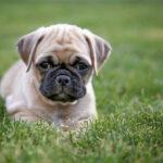 Teacup Pug