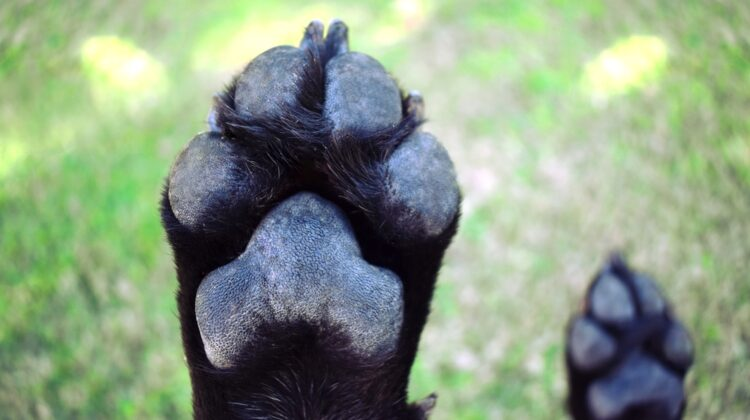 How Many Toes Does a Dog Have