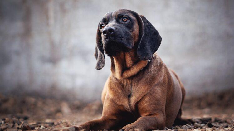 Bloodhound Lab Mix